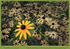 The Eternal's Symphony (karl.wolfgang (Appalachian Son)) Tags: daisy flower nature borders photoborder bible christianity september yellow romans virginia