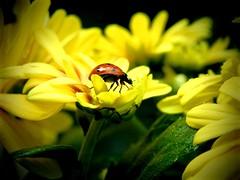 Passeggiando sull'autunno (annamariagiacomini) Tags: macro fiore coccinella coloridautunno