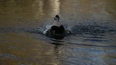 Eider splashing about (1/2) (PChamaeleoMH) Tags: barnes birds eider london splashing wwtbarnes wetlandcentre