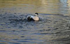 Eider washing (3/3) (PChamaeleoMH) Tags: barnes birds eider london splashing wwtbarnes wetlandcentre