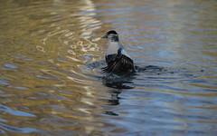 Eider flapping (1/6) (PChamaeleoMH) Tags: barnes birds eider flapping london wwtbarnes wetlandcentre
