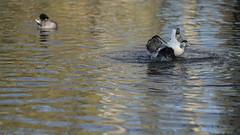 Eider flapping again (3/3) (PChamaeleoMH) Tags: barnes birds eider flapping london wwtbarnes wetlandcentre