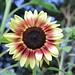 ProCut Red Lemon Bicolor sunflower