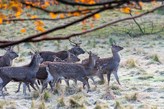 DSC_0372r (gstamets) Tags: deerpark studleyroyalpark studleyroyaldeerpark fountainsabbey ripon yorkshire northyorkshire england nature animal animals deer