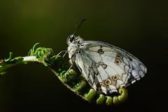 Melanargia lachesis (JoseDelgar) Tags: insecto mariposa melanargialachesis 426318157891526 josedelgar naturethroughthelens coth alittlebeauty sunrays5 coth5 ngc npc