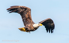 Bald Eagle in-flight with small fish IMG_8743 (ronzigler) Tags: baldeagle raptor birdofprey bird birdwatcher avian nature eagle