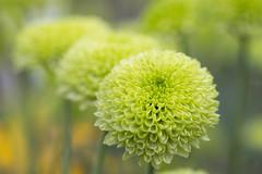 Feeling Green (Ben-ah) Tags: pompon chrysanthemums feelinggreen kiku mum nybg newyorkbotanicalgarden garden exhibit green flower greenflower spotlightontradition 菊の節句 菊 asteraceae chrysanths