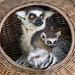 Lemurs in the basket