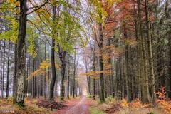 13112019-DSC_0001 (vidjanma) Tags: recogne allée arbres automne chemin hêtres