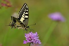 macaone (luporosso) Tags: natura nature naturaleza naturalmente nikon nikonitalia nikond500 farfalla farfalle mariposa papillon borboleta butterfly butterflies fiori fiore fioredicampo wildlife wildflowers trifoglio
