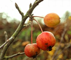 Photo of Crab apples