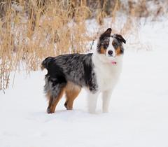 Chloe (brucegates) Tags: olympusomedm1markii mzuikoed60mmf28 chloe brucegates winter dog aussie