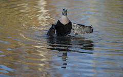 Eider flapping (4/6) (PChamaeleoMH) Tags: barnes birds eider flapping london wwtbarnes wetlandcentre