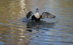 Eider flapping (6/6) (PChamaeleoMH) Tags: barnes birds eider flapping london wwtbarnes wetlandcentre