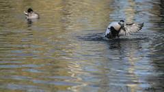 Eider flapping again (2/3) (PChamaeleoMH) Tags: barnes birds eider flapping london wwtbarnes wetlandcentre