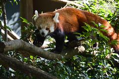 Red Panda (Ailurus fulgens) (Seventh Heaven Photography - (Fauna)) Tags: ailurusfulgens ailurus fulgens red panda chester zoo cheshire england nikond3200 animal mammal
