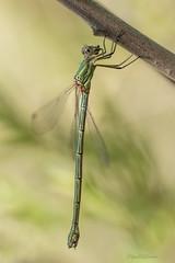 Chalcolestes viridis (Vander Linden, 1825) (Pipa Terrer) Tags: chalcolestesviridis odonata zigoptera caballitodeldiablo moratalla larisca insecta invertebrados insectos lestidae