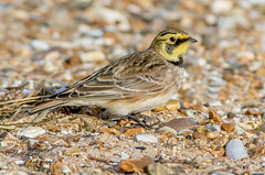 JWL7524  Shorelark... (Jeff Lack Wildlife&Nature) Tags: shorebirds seashore songbirds shorelark larks lark hornedlark wintervagrant countryside coastalbirds coastline coast shingle beaches beach nature naturephotography nikon ornithology wildlife wildbirds wildlifephotography jefflackphotography