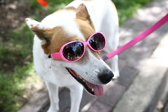 IMG_1188: Cool Guy (i_am_lee_sam) Tags: 2019 geneva concours delegance il car auto show cute dog doggles