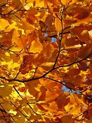 Beautiful beech leaves above Penny Lane (lady.bracknell) Tags: pennylane autumn leaves beechtree autumnleaves goldenleaves bluesky