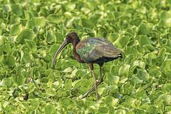 Glossy Ibis (gecko47) Tags: animal bird wader ibis glossyibis plegadisfalcinellus iridescent waterhyacinth oxleycreekcommon rocklea brisbane