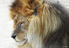 Le sourire du Roi !!! (François Tomasi) Tags: lion animal françoistomasi 2019
