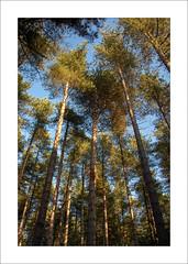 Blidworth Woods (Steve-T201) Tags: pines blidworthwoods nottinghamshire sunlight trees