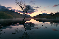 Pretty ordinary (PentlandPirate of the North) Tags: llynpadarn lonetree llanberis snowdonia northwales gwynedd
