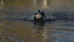 Eider splashing about (2/2) (PChamaeleoMH) Tags: barnes birds eider london splashing wwtbarnes wetlandcentre