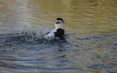 Eider washing (1/3) (PChamaeleoMH) Tags: barnes birds eider london splashing wwtbarnes wetlandcentre