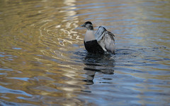 Eider flapping (2/6) (PChamaeleoMH) Tags: barnes birds eider flapping london wwtbarnes wetlandcentre