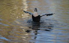 Eider flapping (3/6) (PChamaeleoMH) Tags: barnes birds eider flapping london wwtbarnes wetlandcentre