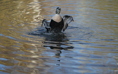 Eider flapping (5/6) (PChamaeleoMH) Tags: barnes birds eider flapping london wwtbarnes wetlandcentre