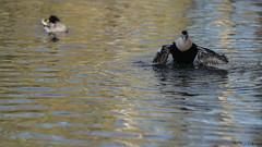 Eider flapping again (1/3) (PChamaeleoMH) Tags: barnes birds eider flapping london wwtbarnes wetlandcentre