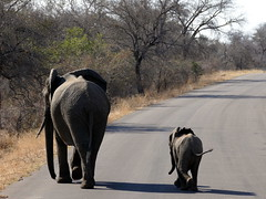P1200546b (o spot) Tags: 2019 southafrica kruger best elephant
