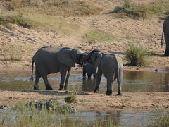 P1200538 (o spot) Tags: 2019 southafrica kruger best elephant