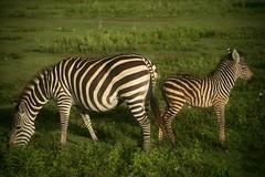 Back to back (*Kicki*) Tags: tanzania africa ngorongoro nature naturereserve animal zebra stripes striped grass crater safari gamedrive wildlife ngorongorocrater