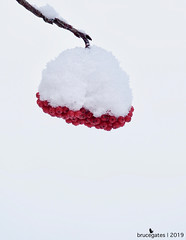 Berries and Snow (brucegates) Tags: olympusomedm1markii panasonic100400mmf463 brucegates winter halfwaylakeprovincialpark