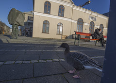 IÐNÓ (ingolfssonvalur) Tags: iðno reykjavík iceland pinkfooted goose 14mmsamyangrokinon