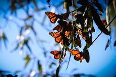 Monarch Butterfly #3 [Explored] (Jessie T*) Tags: california santacruzca naturalbridgesstatepark monarchgrove eucalyptus butterflies monarchbutterfly