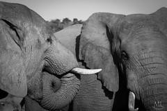 Kinda Like Biting Your Tongue? (Desire2Travel) Tags: southafrica elephant bigfive conservation safari africa wildelephant blackandwhite