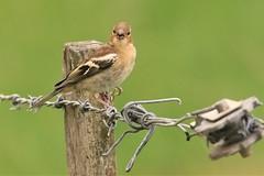 Chaffinch - Fringilla coelebs (Steve Attwood) Tags: steveattwood auldwoodphotography newzealand bird nature wildlife chaffinch fringillacoelebs