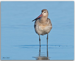 Bar-tailed Godwit (Bear Dale) Tags: bartailed godwit scientific name limosa lapponica ulladulla southcoast new south wales shoalhaven australia beardale lakeconjola fotoworx milton nsw nikond850 photography framed nature nikon bear d850 estuary lake saltwater seabirds wader bird seashore naturephotography naturaleza