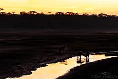 Ndutu Sunrise (Explore 11/14/2019) (tkfranzen) Tags: hyena spottedhyena water ndutu tanzania scenesfromtanzania scenesfromafrica africansafari africanwildlife sunrise sun morning