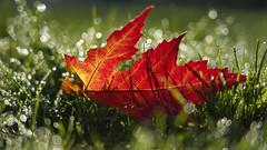R-O-T (KaAuenwasser) Tags: tau reif wasser natur blatt rot farbe wiese rasen bokeh herbst ahorn