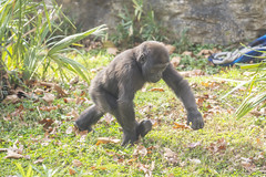 Gorilla go! (Tim Brown's Pictures) Tags: washingtondc nationalzoo smithsonian zoo zoos park outdoors rockcreek animals mammals endangeredspecies primates gorillas westernlowlandgorilla washington dc unitedstates