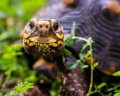 Wise eyes (risaclics) Tags: mercury animals pets redfooted tortoises reptiles shells 60mmmacro nikond610d november2019 redfootedtortoises ngc npc