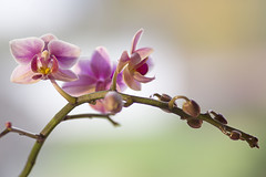 Die Orchideenzeit hat wieder begonnen - The orchid season has started again (heinrich.hehl) Tags: spätherbst natur flora blumen orchidee blüten makro macro blossoms orchid flowers nature lateautumn