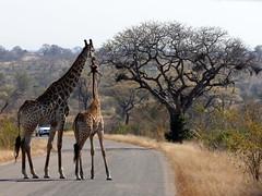 P1200581b (o spot) Tags: 2019 southafrica kruger best giraffe