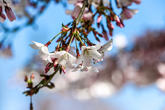 Pale Shades of Spring (kiwi photo lover) Tags: spring season blossom flower rebirth nature change whaite pink blue green soft pale shades